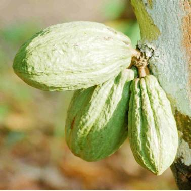 Cabosse cacao GRAND CRU COTE D'IVOIRE
