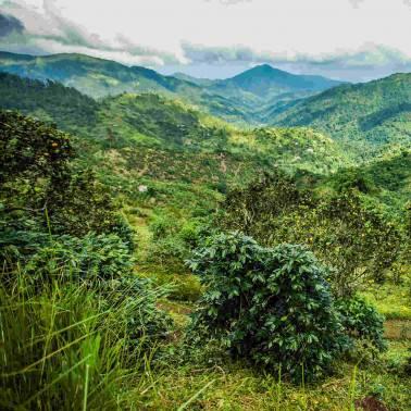 Montagnes Cacao JAMAIQUE