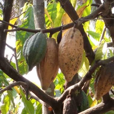 Cabosses cacao GRAND CRU VIETNAM